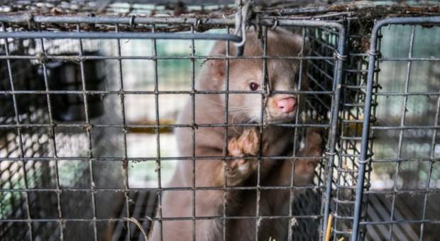 Norwegia: Hodowcy zwierząt futerkowych obawiają się przyszłości