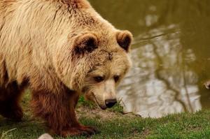 Niedźwiedź zaatakował człowieka