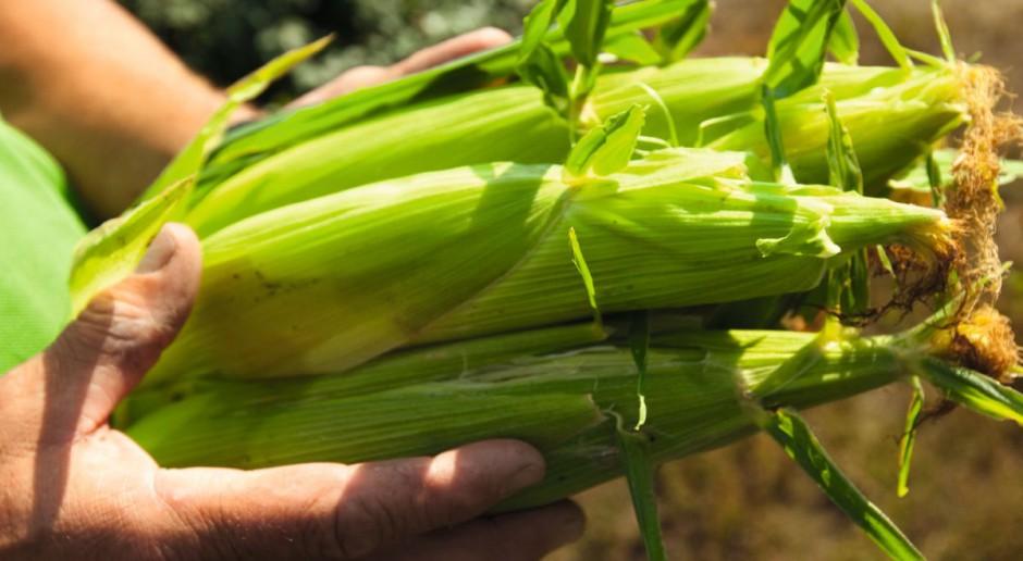 MaisPak w kukurydzy od Yara