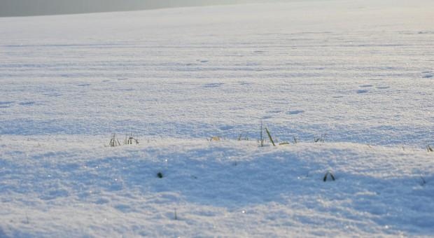 Pałecznica zbóż i traw ma idealne warunki do rozwoju