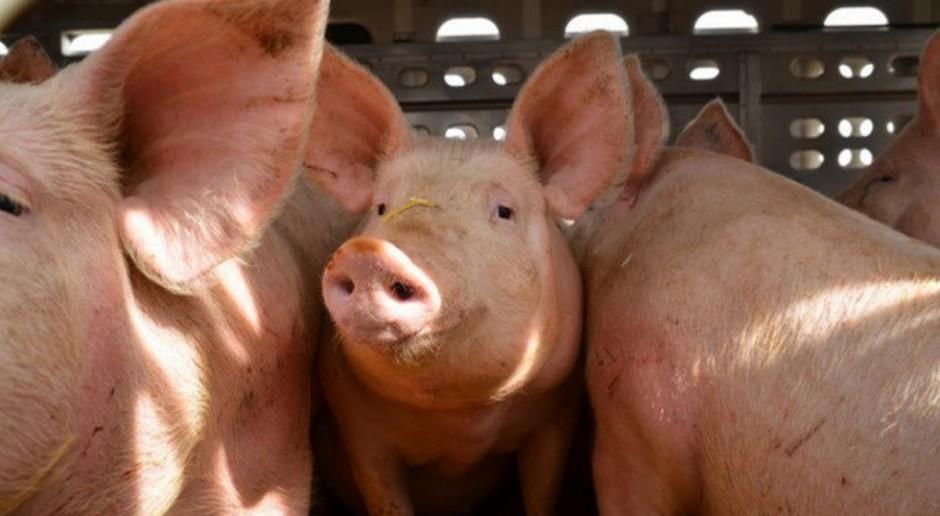 UE: Wzrost cen świń rzeźnych