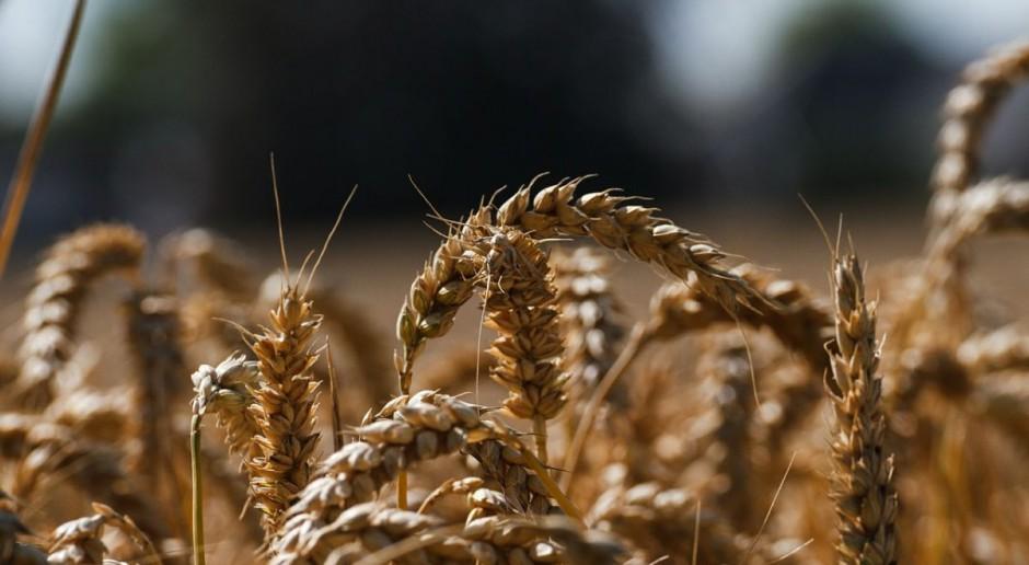 Znaczny wzrost cen pszenicy