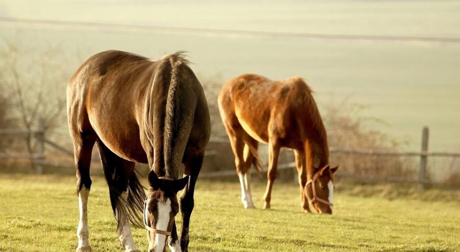 Program hodowli koni ma zachować genetykę polskich ras koni
