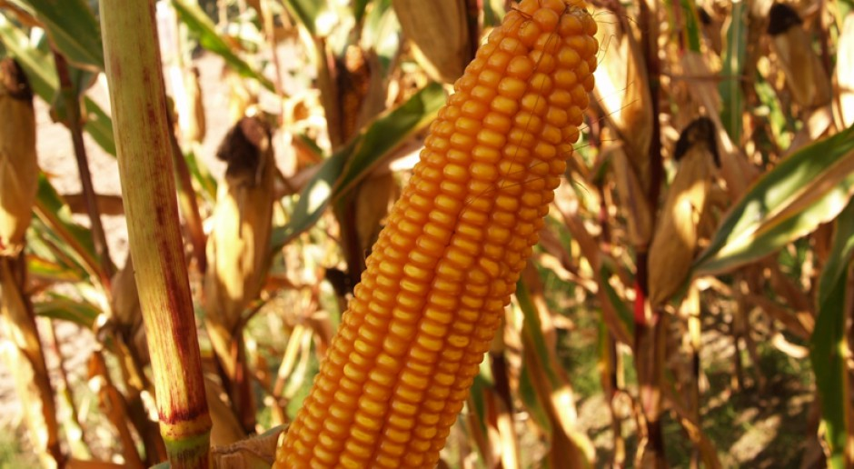 Kosynier i Golden Nugget - doskonałe odmiany kukurydzy