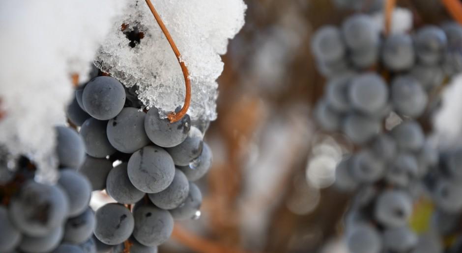 Zimowe winobranie w Baniewicach