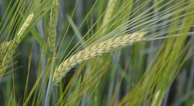 LOZ zbóż jarych dla województwa pomorskiego