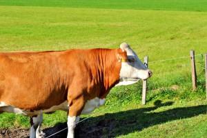 Brazylia może ponownie eksportować żywe bydło rzeźne