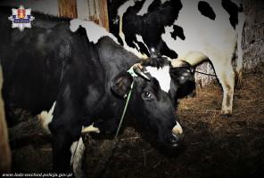 Skradziona krowa szybko wróciła do właściciela.
