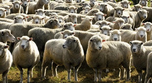 IERIGŻ-PIB: Drożeją owce ciężkie, tanieją jagnięta
