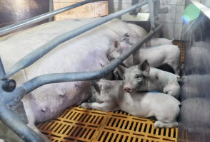 IERiGŻ: Od marca spodziewany spadek pogłowia świń