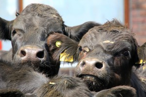 Niewielki wzrost pogłowia bydła w 2017 r.
