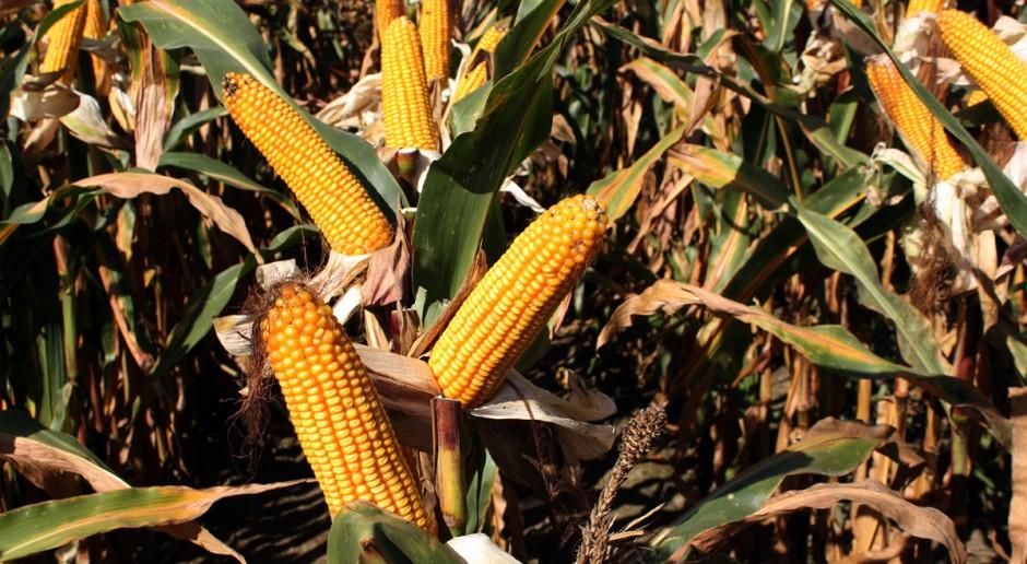 23 nowe odmiany kukurydzy w Krajowym Rejestrze