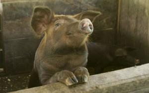 Pogłowie świń rośnie nie tylko w Polsce
