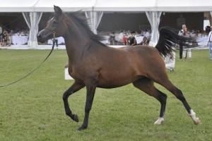 Ubiegłoroczne aukcje koni arabskich przyniosły 1,6 mln zł zysku