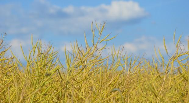 PSPO: Wysoki przerób nasion rzepaku