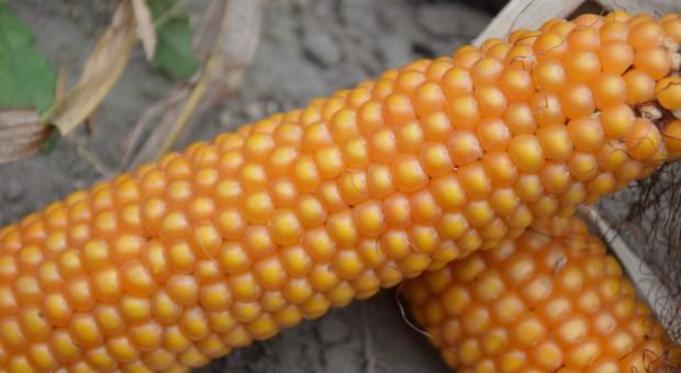Francja: podsumowanie ostatniego sezonu kukurydzy