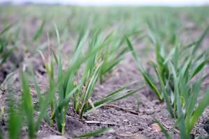 Przemyślana strategia nawożenia zbóż azotem