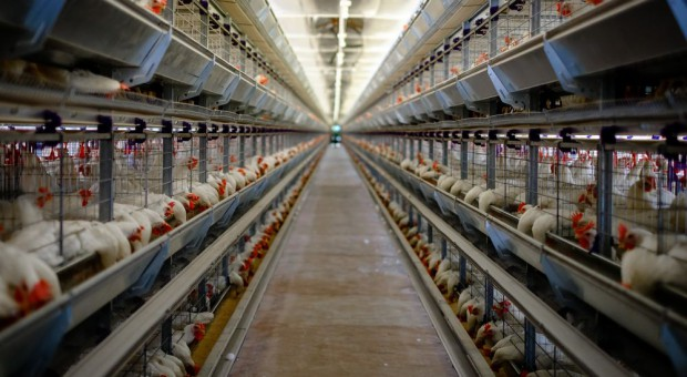 Wycofują ze sprzedaży jaja z chowu klatkowego