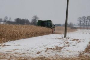 W lutym jeszcze zbierają kukurydzę