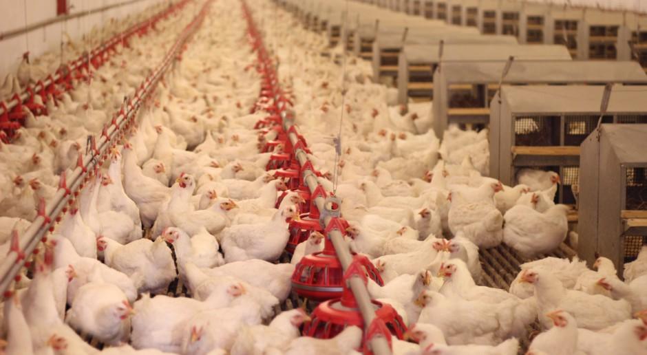 Holandia: Ptasia grypa na fermie kurcząt koło Gronigen