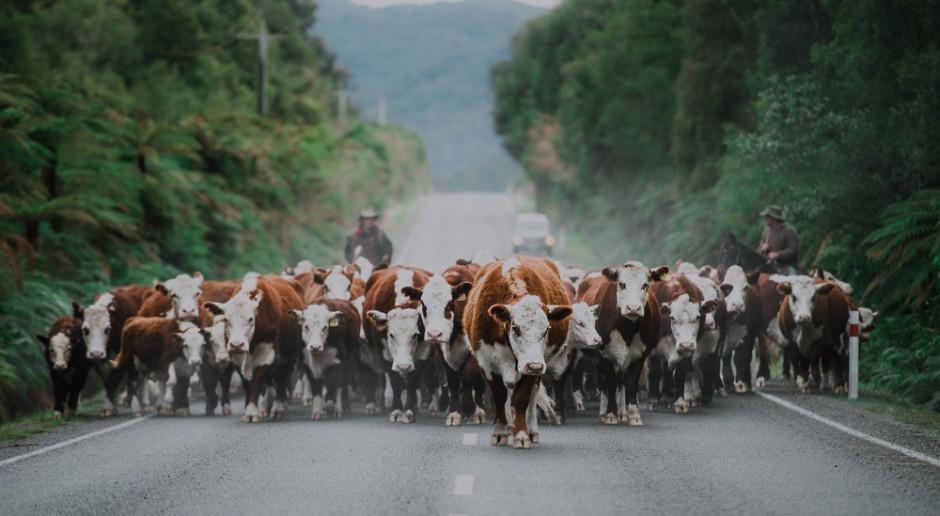 Szczyt głupoty: Youtuber wypuścił na drogę krowy