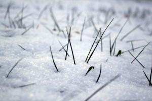 Cienka warstwa śniegu lub jej brak w oziminach