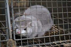 Pracownicy naukowi bronią hodowli zwierząt futerkowych