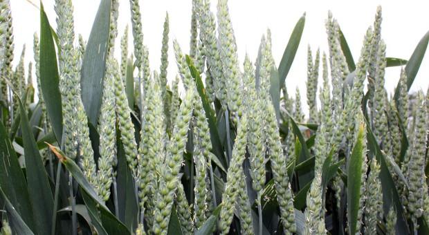 22 nowe odmiany zbóż ozimych