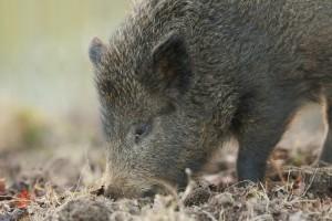 60 nowych przypadków afrykańskiego pomoru świń