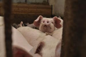 Główni gracze na światowym rynku wieprzowiny