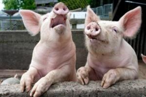 UE: Ceny świń rzeźnych rosną, ale nierównomiernie