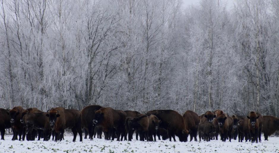 Puszcza Białowieska - w polskiej części ponad 650 żubrów na wolności
