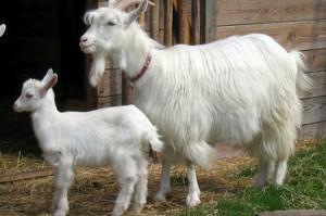 Przeszło 100 matek ginącej rasy kóz trafiło do hodowców
