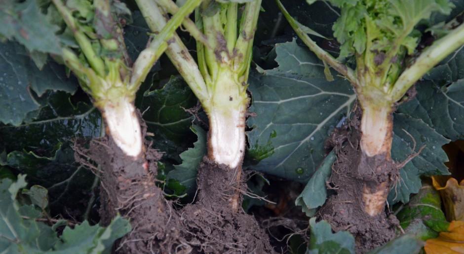 Zdrowa plantacja mimo dużej presji chorób