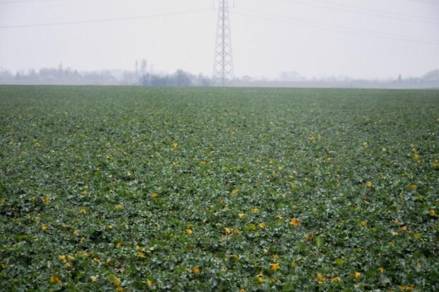 Plantacja rzepaku ozimego była dobrze przygotowana i gotowa na okres spoczynku zimowego. Na roślinach nie występowały oznaki chorobowe, nie obserwowałem większych oznak objawów niedoboru składników pokarmowych