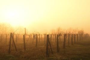 Podkarpackie: Winnice obojętne na ostatnie mrozy