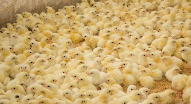 MRiRW nie zgadza się z tezą o powszechnym stosowaniu antybiotyków w hodowli