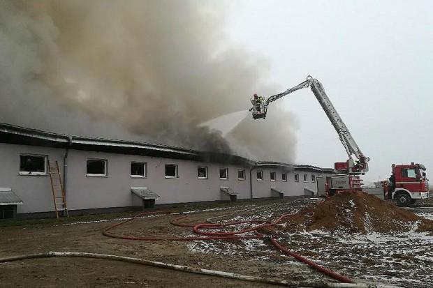Pożar chlewni pod Golubiem-Dobrzyniem. Spłonęło ponad trzy tysiące świń
