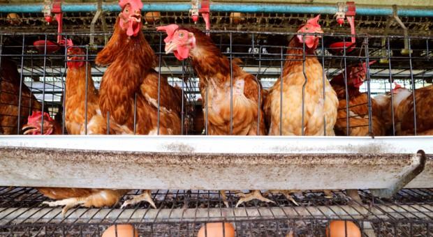 Grupa Eurocash do 2025 r. wycofa jajka z chowu klatkowego