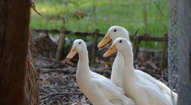 Francja: Nowe ogniska ptasiej grypy