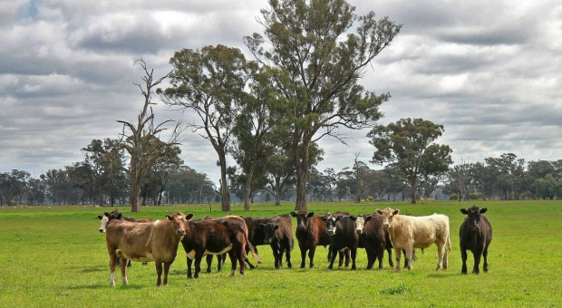 Australia: Mega farma bydła mięsnego na sprzedaż