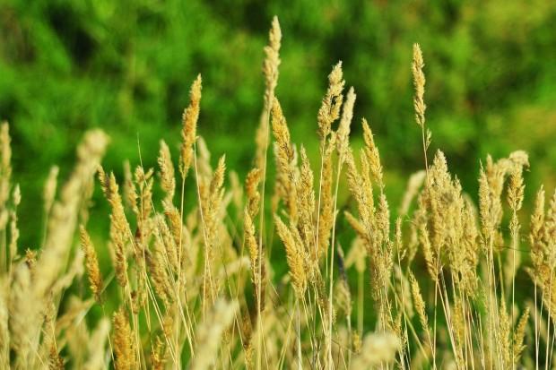 Czy da się zarobić na uprawie traw nasiennych?