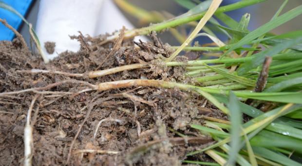 Interwencja fungicydem w terminie T1 jest konieczna