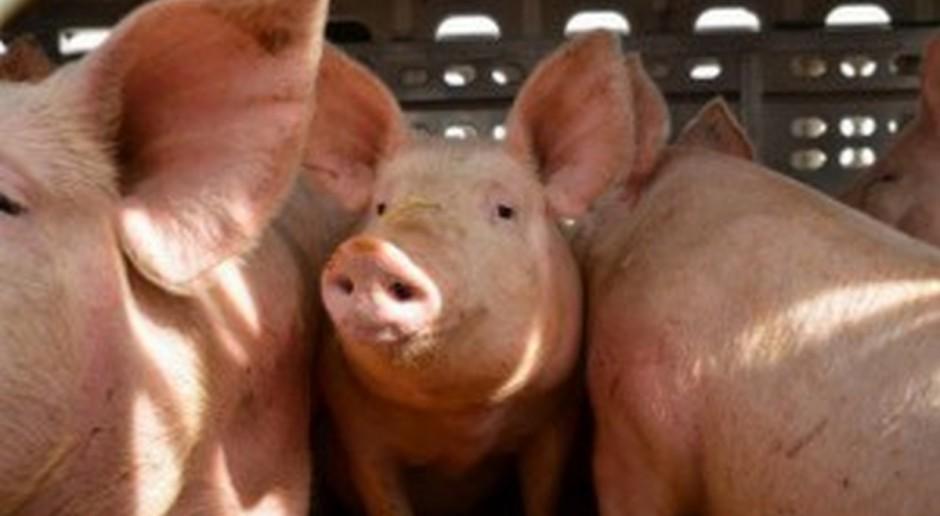 UE: Ceny świń – spadki, stabilizacja i umiarkowany wzrost