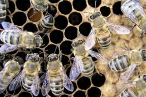 Czechy: Obawy pszczelarzy w związku z publikowaniem danych o pasiekach