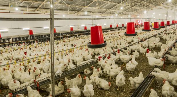 Drobiarze proszą NIK o przeredagowanie komunikatu dot. stosowania antybiotyków