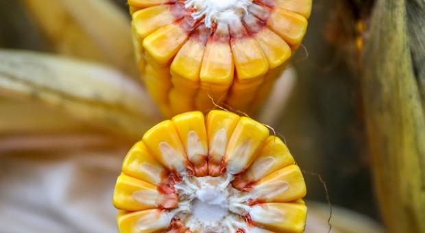 Odmiany kukurydzy polecane przez firmy
