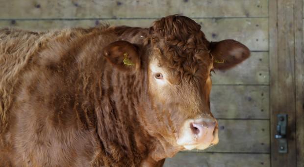 Hodowcy zlicytowali najlepsze sztuki bydła mięsnego
