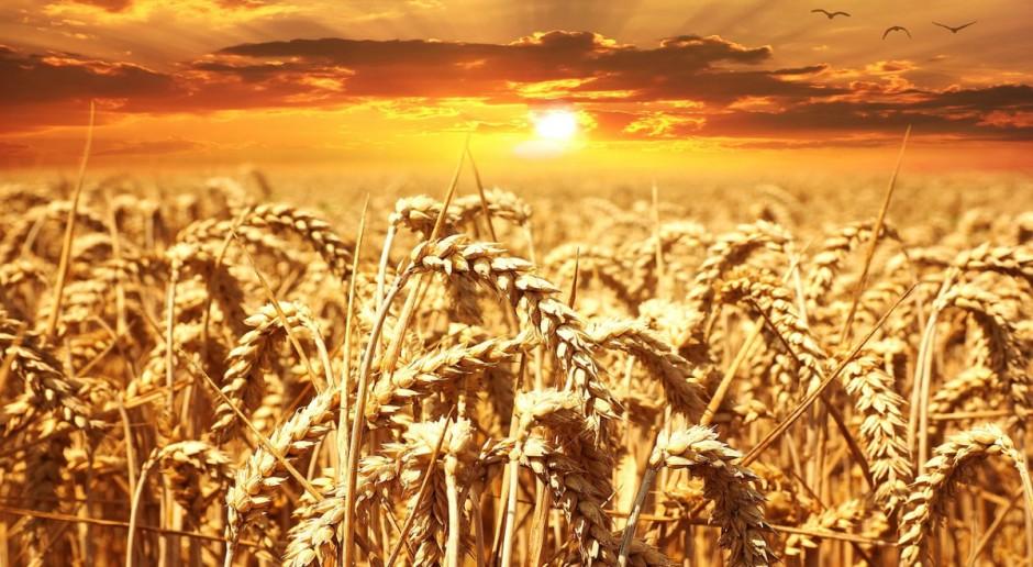 Niemieckie zbiory zbóż mają być nieznacznie wyższe niż w 2017 r.