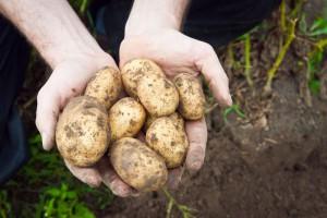 Nie tylko u nas ziemniaki są tanie